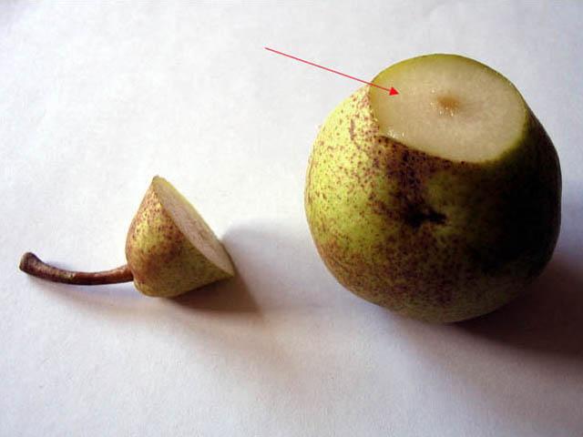 Pyrus la poire histologie ch aubert - Peut on congeler des poires ...